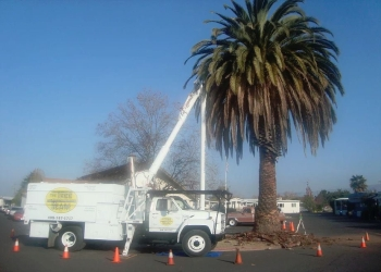 Sunnyvale tree service The Tree Team Inc.
